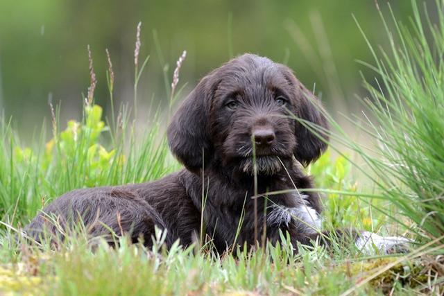 PuppiesBos (15)