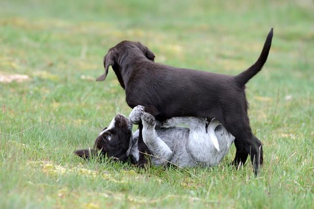PuppiesBos (17)